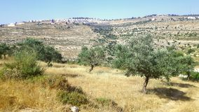 Jewish settlement with olive trees Royalty Free Stock Image