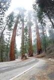 Jezdnia przez sekwoja parka narodowego, Kalifornia zdjęcie royalty free
