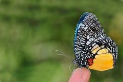 Jezebel Palmfly butterfly. Of thailand background Stock Photography