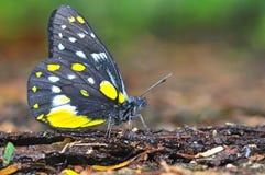 Jezebel van de heuvel vlinder Royalty-vrije Stock Afbeelding