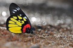 Jezebel van de rood-basis vlinder Royalty-vrije Stock Foto's