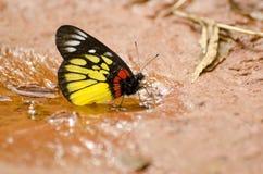 Jezebel van de rood-basis vlinder Stock Foto