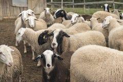 Slovenian species of a sheep. Jezersko - Solcava kind of sheep is unique Stock Photo