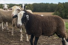 Slovenian species of a sheep. Jezersko - Solcava kind of sheep is unique Royalty Free Stock Photography