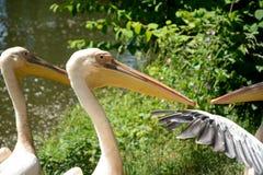 jeziora parkowe pelikanów menchie Zdjęcia Stock