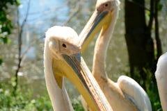 jeziora parkowe pelikanów menchie Zdjęcia Royalty Free