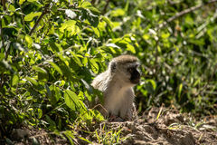 Jeziorna Nakuru małpa Fotografia Royalty Free