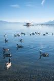 Jeziorne kaczki Obrazy Royalty Free