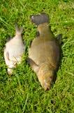 Jeziornego ryba linu oka pomarańczowego leszcza zielona trawa Obraz Stock