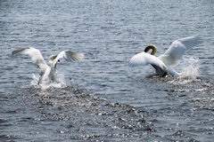 jeziorni łabędzia zdjęcia royalty free