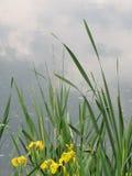 Jeziorni kwiaty Obrazy Royalty Free