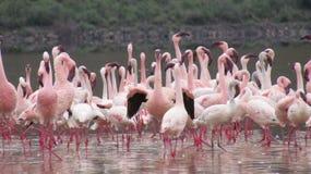 Jeziorni Nakuru flamingi zdjęcia stock