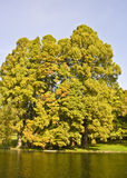 jeziorni obfitolistni drzewa Obrazy Royalty Free