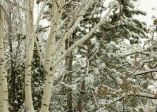 Jeziorni Tahoe fotografii Trees/Śnieżni krajobrazy zdjęcia stock