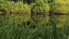Jeziorny brzeg z słodką trawą i inny rośliny zbiory wideo