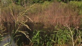 Jeziorny brzeg z słodką trawą i inny rośliny zbiory