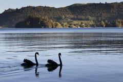 Jeziorny Okareka z czarnymi łabędź Zdjęcia Stock