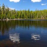 jeziorny scaup Wyoming Yellowstone obrazy stock