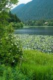jeziorny sitka Zdjęcie Stock