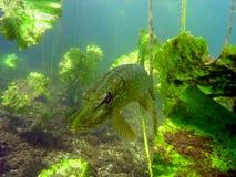 jeziorny szczupak Zdjęcie Stock