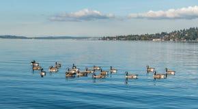 Jeziorny Waszyngton - gąski Fotografia Royalty Free