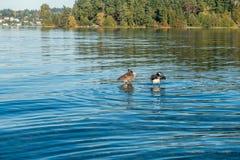 Jeziorny Waszyngton - gąski 2 Obrazy Royalty Free