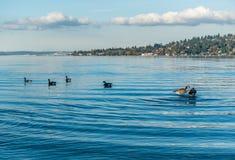 Jeziorny Waszyngton - gąski 3 Fotografia Stock