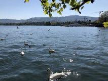 Jeziorny Zurich, Dera Zuerichsee lub Zurichsee w mie?cie Zurich obraz royalty free