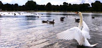 jezioro łabędzie fotografia royalty free