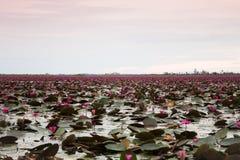 Jezioro czerwony lotos przy Udonthani Tajlandia (niewidziany w Tajlandia) obraz royalty free