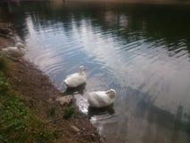 Jezioro i kaczki Zdjęcie Royalty Free