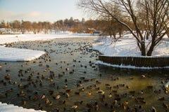 Jezioro i kaczki w Tsaritsyno w zimie na jasnym dniu Zdjęcie Royalty Free