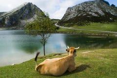 Jezioro i krowa Obraz Stock