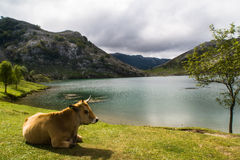 Jezioro i krowa Obrazy Stock
