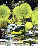 jezioro inle pola lotus Myanmar Fotografia Royalty Free