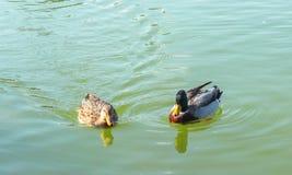 Jezioro kaczki Obrazy Royalty Free