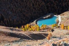Jezioro otaczający żółtymi sosnami Obraz Royalty Free