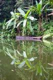 Jezioro w dżungli, Filipiny Obrazy Stock