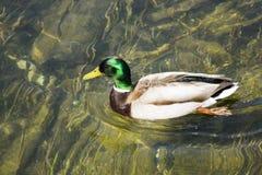 Jezioro z kaczką Zdjęcie Royalty Free