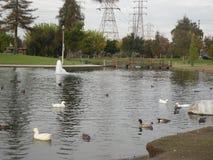 Jezioro z kaczkami i innymi ptakami fotografia royalty free