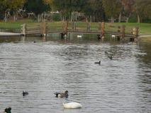 Jezioro z kaczkami i innymi ptakami zdjęcia royalty free