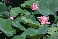 Jezioro z lotuses Zdjęcia Stock