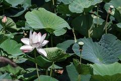 Jezioro z lotuses Obraz Royalty Free
