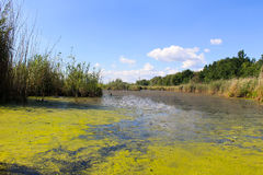 Jezioro z zielonymi algami i duckweed na nawadniamy powierzchnię Obrazy Royalty Free