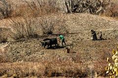 Jharkot, Nepal - 17 de noviembre de 2015: Familia nepalesa con la ayuda de un toro que ara la tierra en último otoño imagenes de archivo