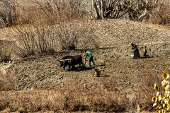 Jharkot, Nepal - November 17, 2015: Nepalese family with the help of a bull plowing the land in late autumn stock images