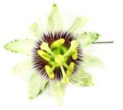 Jhumko Lata flower of Indian Subcontine Stock Image