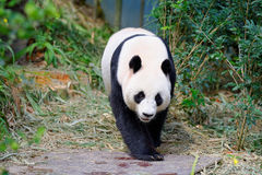 Jia Jia żeński pandy odprowadzenie w swój klauzurze obrazy stock