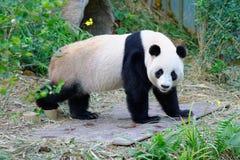Jia Jia der weibliche Panda, der in seine Einschließung geht stockfotos