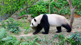 Jia Jia the female panda walking in its enclosure. In Singapore River Safari stock photos